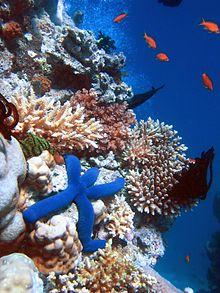 220px-Blue_Linckia_Starfish