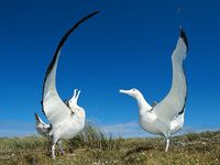 Endangered species climate change Wandering Albatross