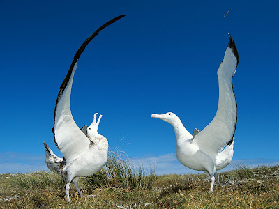 Endangered species climate change Wandering Albatross