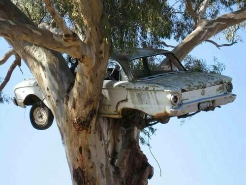 Ford falcon in a tree
