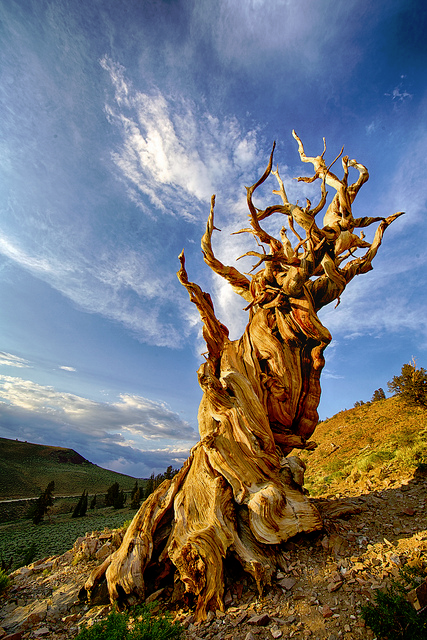 Bristlecone treeline global warming climate change
