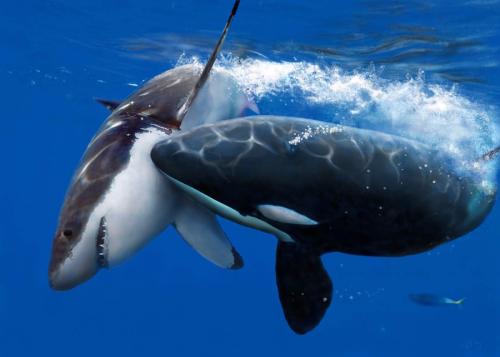 Killer-whale-vs-shark